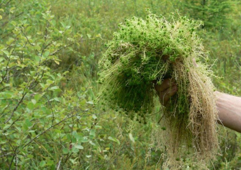 Природная губка или мох сфагнум: для чего используют в цветоводстве, как выбрать качественный ингредиент и как добавлять прослойку в вазоны