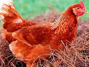 Выращивание кур несушек в домашних условиях с максимальной яйценоскостью