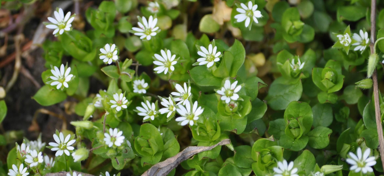 Stellaria graminea l. описание таксона