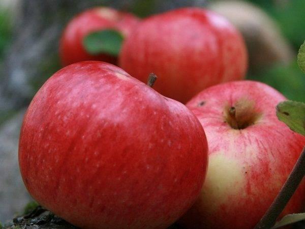 Народная яблоня штрифель