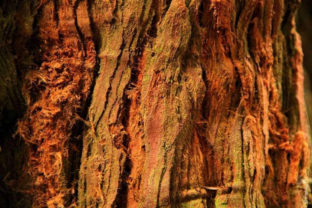 Сосны свосковыми листьями, обезьяньи головоломки, пустынные реликты гондваны— иеще 10деревьев-долгожителей совсей планеты