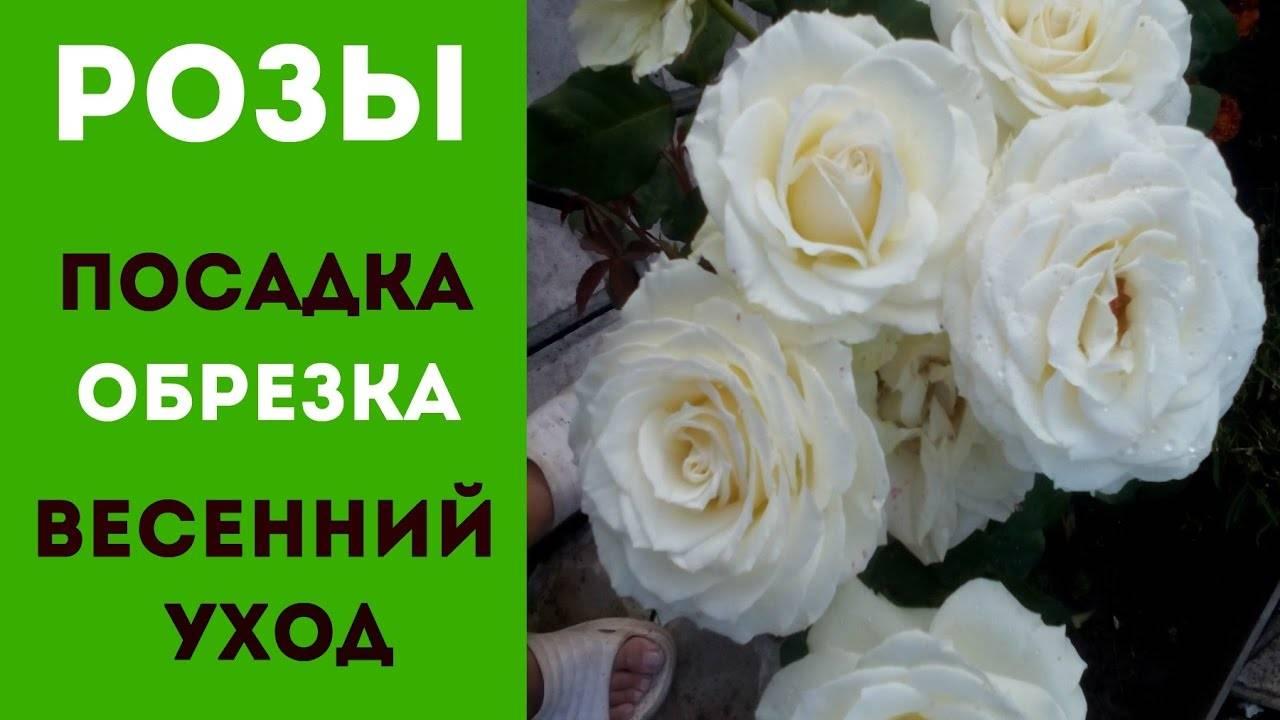 Как ухаживать за розами весной