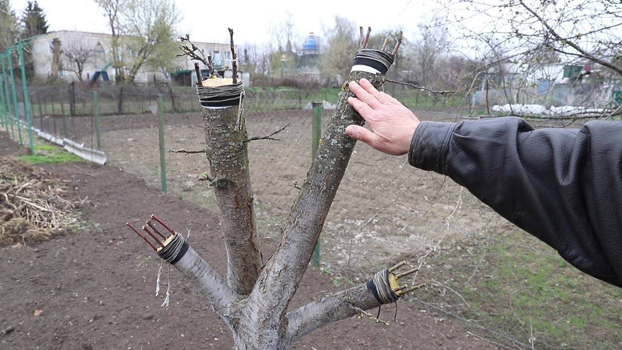 Прививка деревьев весной сроки видео время прививки