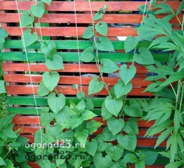 Тладианта: красный огурец – выращиваем дома сладкий овощ-экзот