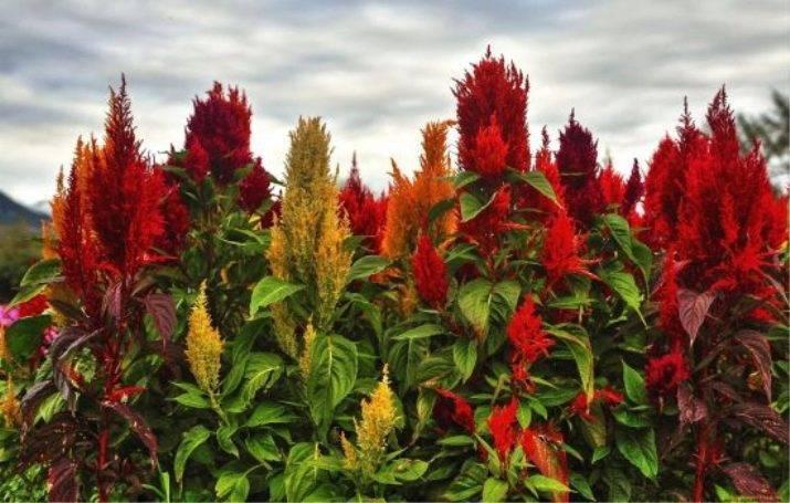 Амарант метельчатый, советы по выращиванию из семян