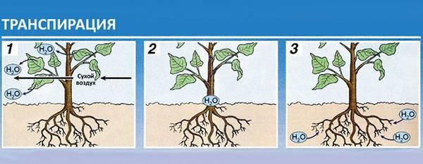 Транспирация у растений — суточный ход, интенсивность, видео
