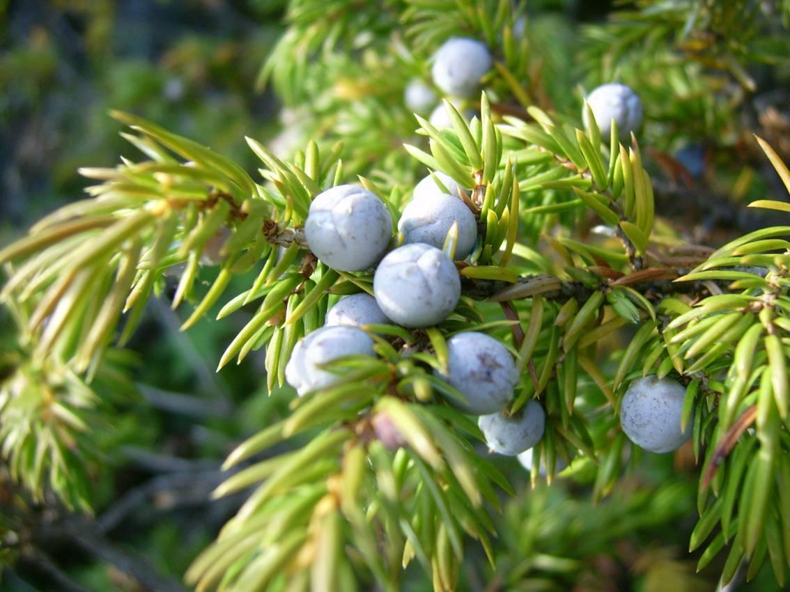 Способы и рецепты применения эфирного масла можжевельника
