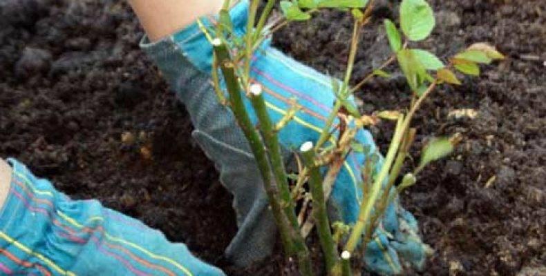 Как правильно ухаживать за розами весной в открытом грунте