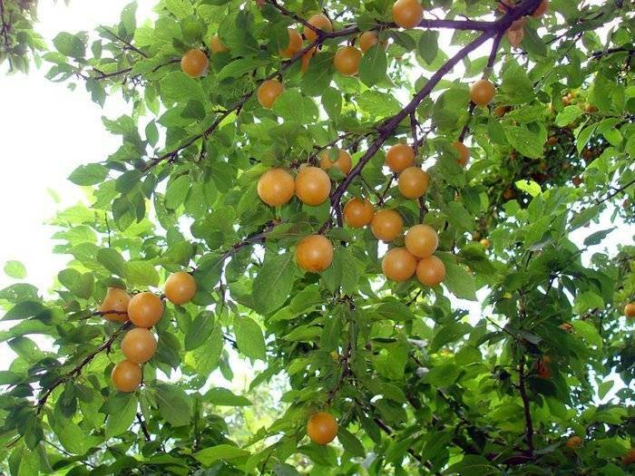 Алыча «злато скифов»: особенности выращивания и уход