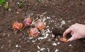 Как сохранить лилии зимой: способы, правила и условия хранения луковиц