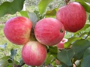 Яблоня «серебряное копытце»: описание сорта, фото и отзывы