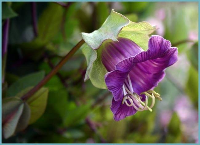 Тропическая красавица в вашем саду кобея лазающая