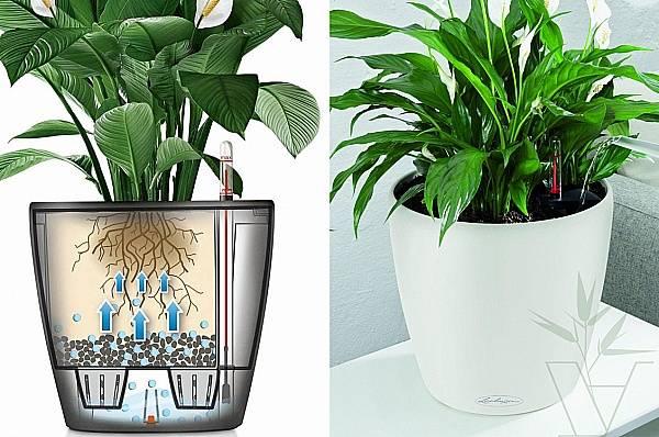 Диффенбахия - трудности выращивания в домашних условиях, видео