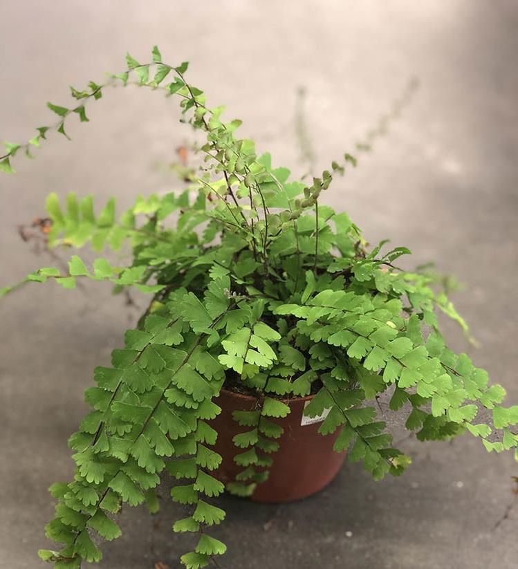 Почему сохнут кончики листьев у хлорофитума? что делать, если желтеют, чернеют и сохнут листья?