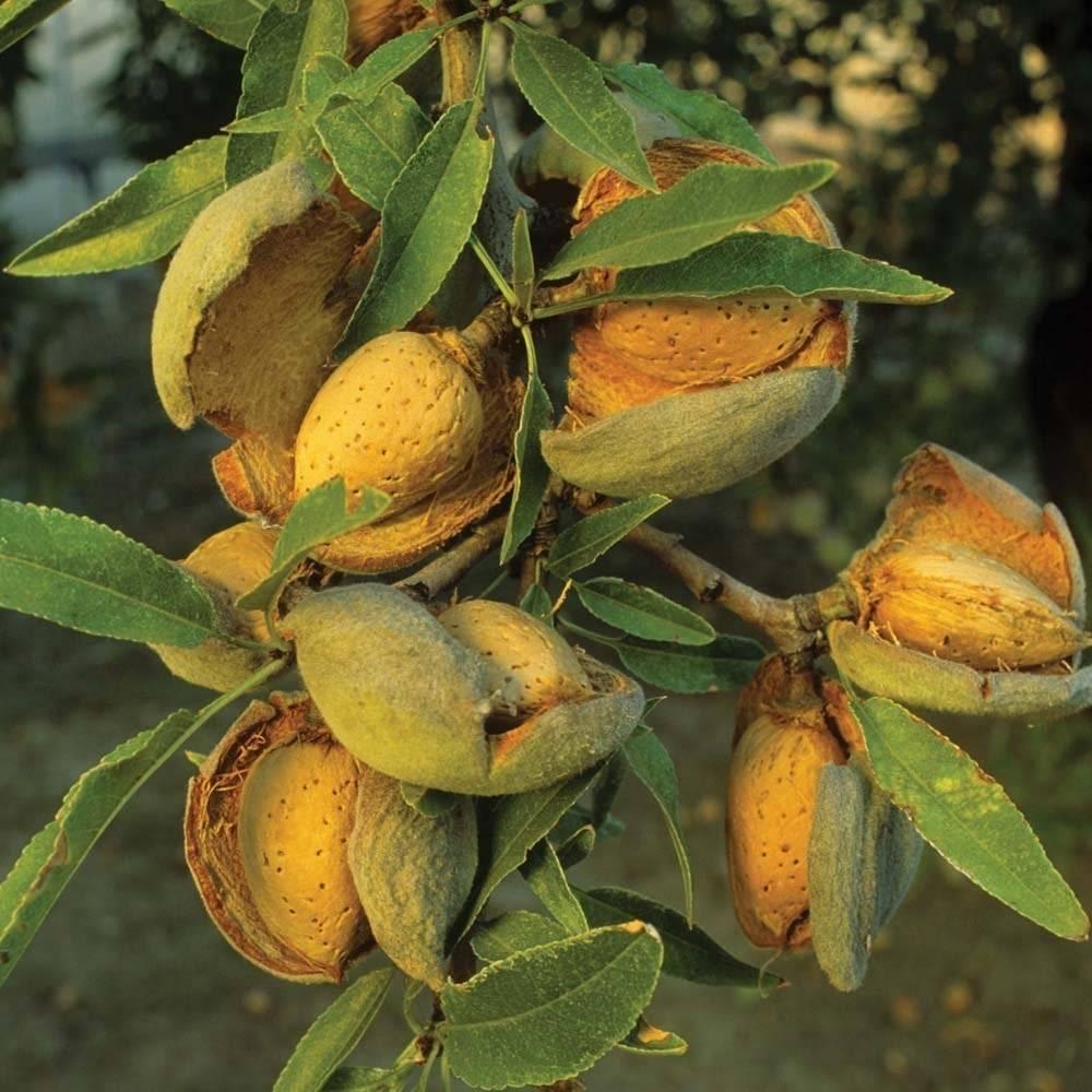 Сколько можно есть миндаля в день и как правильно употреблять эти орехи в пищу?