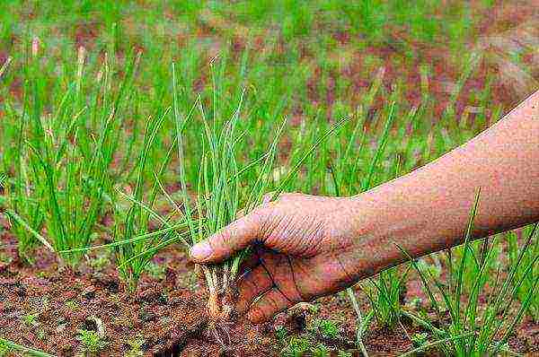 Выращивание лука китайским способом