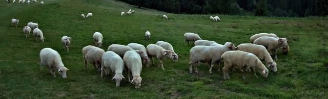 Овцеводство в домашних условиях: рентабельность бизнеса
