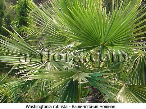 Пальма вашингтония — уход в домашних условиях
