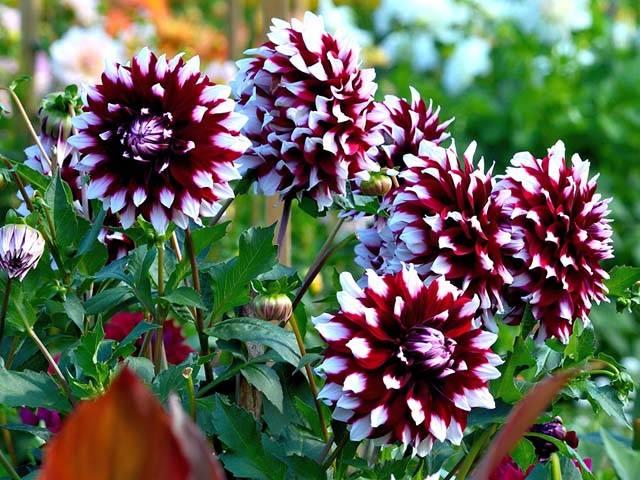 Цветы георгины: фото, описание сортов, посадка и уход