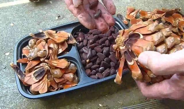 Польза и вред кедровых орехов