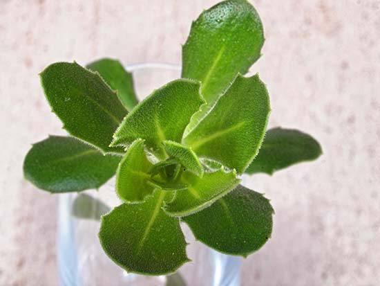Выращивание остеоспермума: посадка, уход, размножение, вредители и болезни