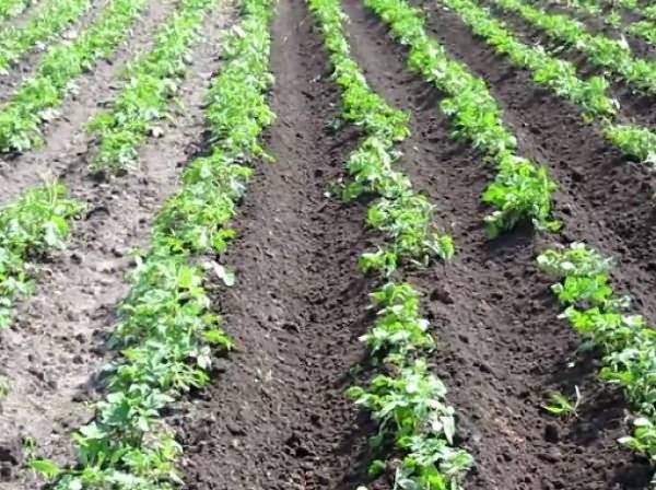 Старинный метод: как осуществить посадку картофеля под соломой?