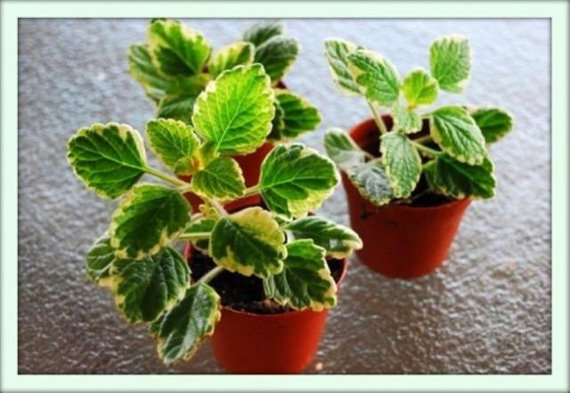 Комнатный цветок плектрантус (plectranthus): сорта и виды (с фото)