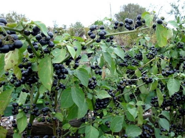 Санберри: полезные свойства и вред ягод для организма
