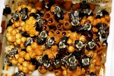 Фото и описание медоносных пород пчел
