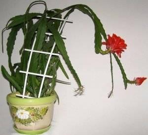 Почему не цветет эпифиллум, как добиться цветения, видео