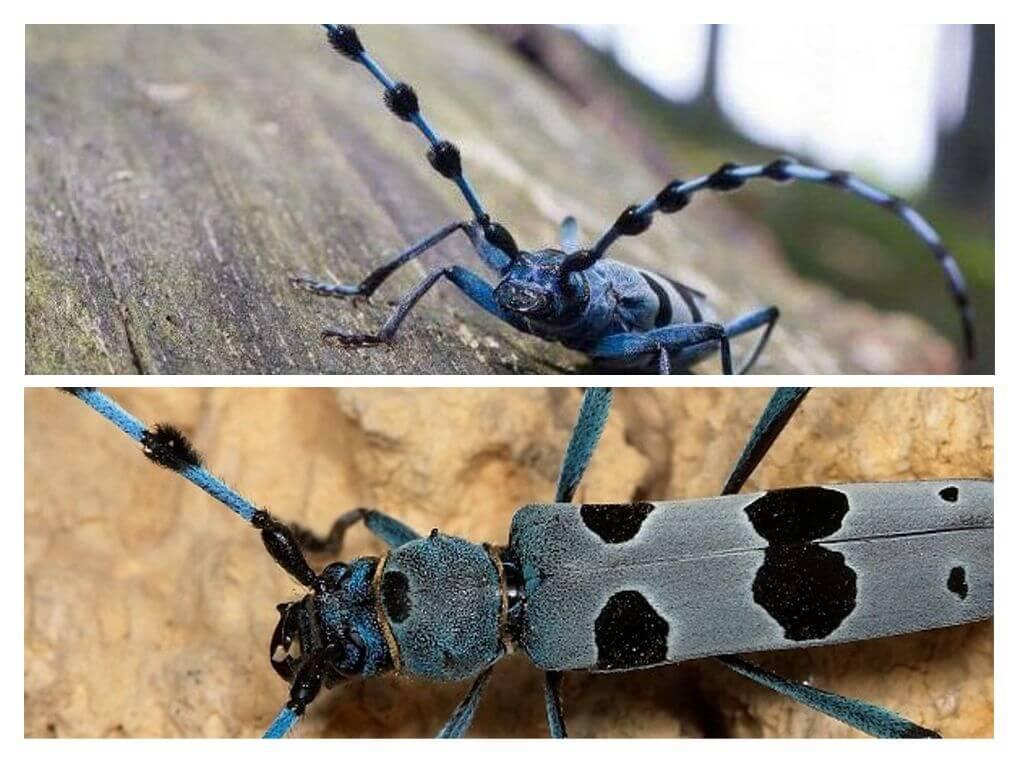 Знаем ли мы своего врага в лицо? жук усач