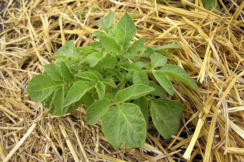 Как правильно сажать картофель: ростками вверх или вниз