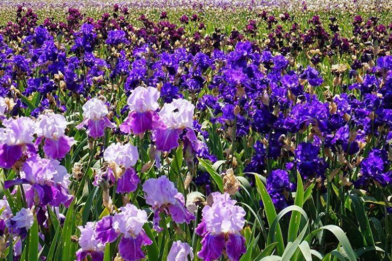 Почему не цветут ирисы? выясняем причины и разбираемся, что делать