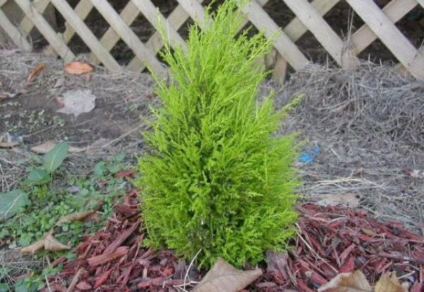 Выращиваем на даче юкку садовую, посадка и уход за которой несложные
