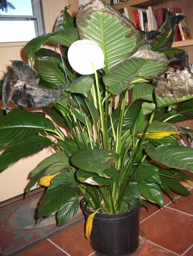Давайте узнаем, почему у спатифиллума зеленеют цветы
