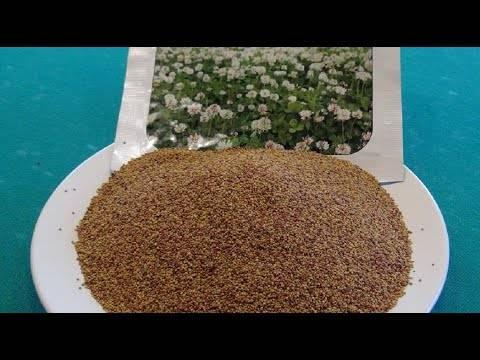 Как правильно посадить клевер белый ползучий и ухаживать за ним