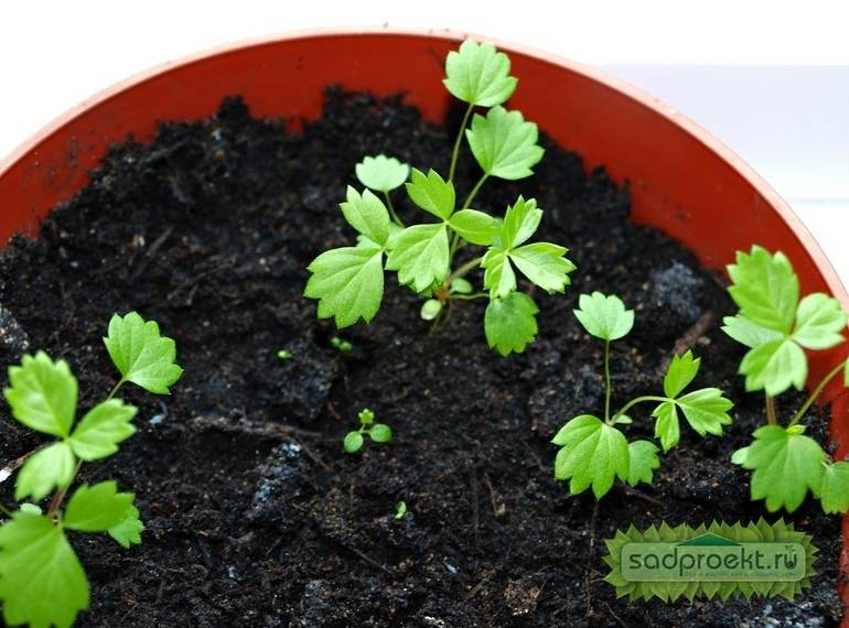 Выращивание клубники из семян в домашних условиях: когда и как сеять земляника на рассаду