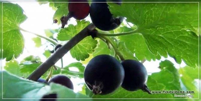 Йошта — удивительный союз крыжовника и черной смородины