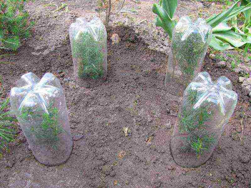 Как вырастить тую из семян: самая простая и удобная технология