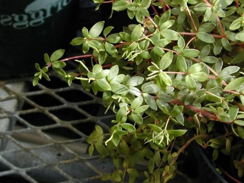 Вредители и болезни пеперомии: причины и признаки поражения. как помочь растению?