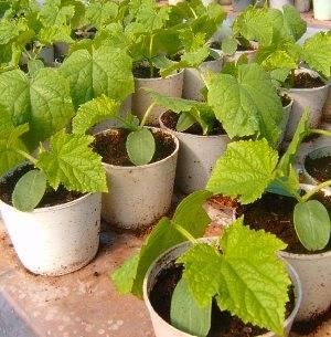 Как вырастить выращиваем рассаду огурцов видео