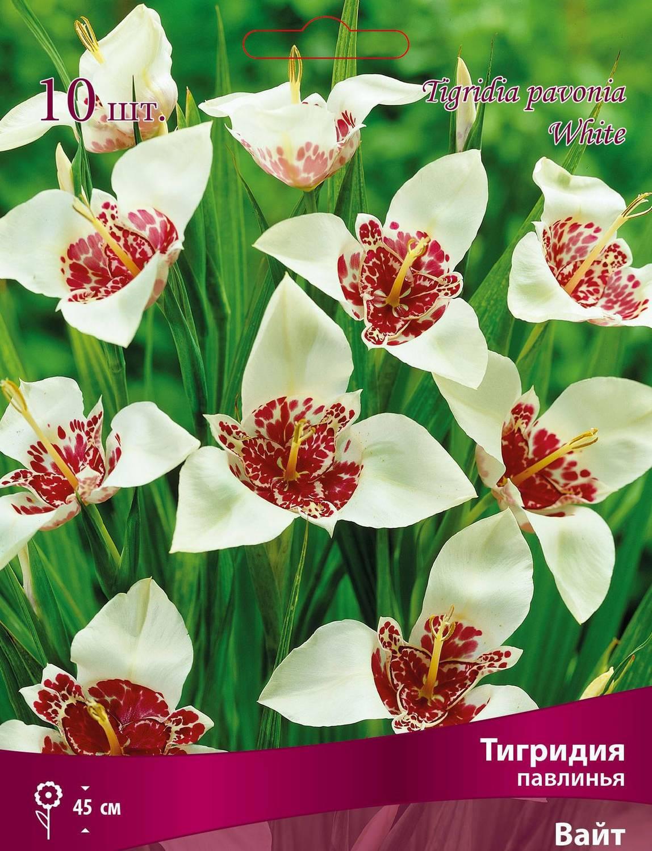 Цветок тигридия павлинья – посадка, выращивание и уход в открытом грунте, сорта, фото