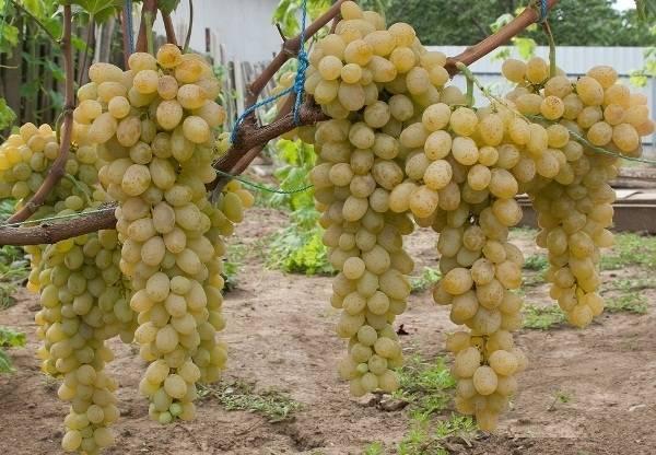 Описание и фото ультраранних сортов винограда