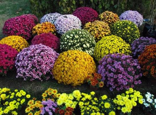 Выращивание низкорослой многолетней хризантемы