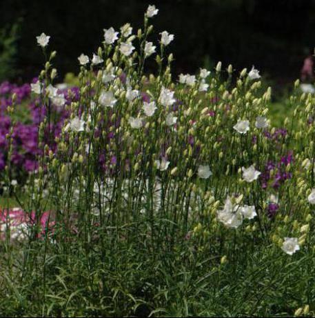 Космея: выращивание из семян, посадка и уход