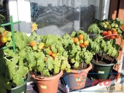 Как вырастить помидоры на подоконнике в квартире: пошаговая инструкция