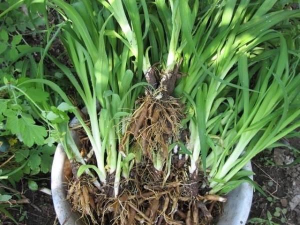 Размножение лилейника делением куста