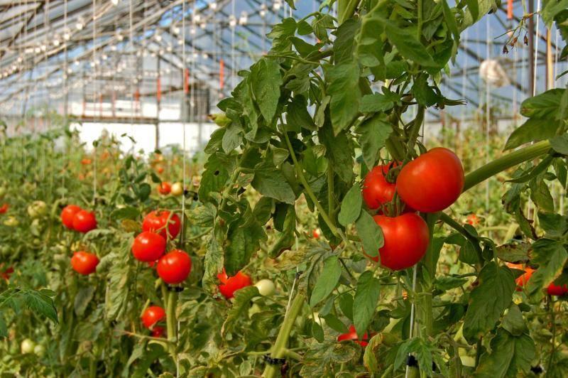 Томат «марьина роща f1»: описание, достоинства, правила выращивания