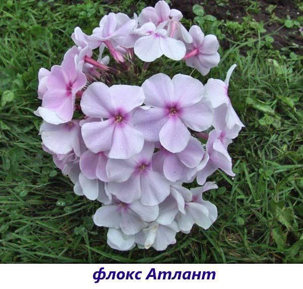 Флокс метельчатый: выбираем сорт и украшаем сад нежным цветком