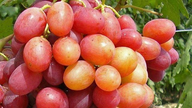 Виноград Анюта, описание сорта, фото, отзывы